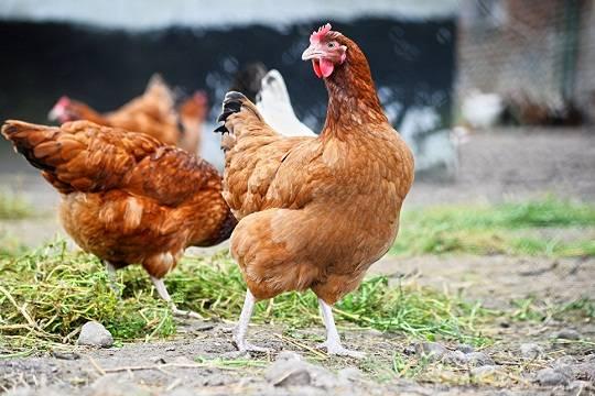 Новые очаги птичьего гриппа найдены вЧувашии
